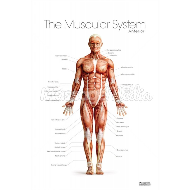 The Muscular System Anterior Poster