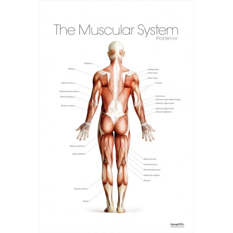 The Muscular System Posterior Poster